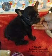 akc rare color french bulldogs pr ukc american bullies in arizona pups stud service arizona some of the best quality french bulldogs and