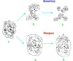 Биология Апоптоз программируемая клеточная смерть Реферат  Изменение ультраструктуры клеток животных при некрозе и апоптозе 1 нормальная клетка 2 апоптотическое сморщивание клетки с образованием пузырчатых