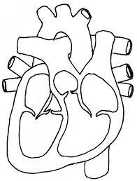 Blank heart diagram human heart structure black white blank heart rh anatomysciences heart diagram labeled blank heart diagram