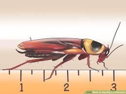 4 Ways To Identify A Cockroach Wikihow