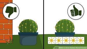 3 Ways To Grow Golden Barrel Cactus Wikihow