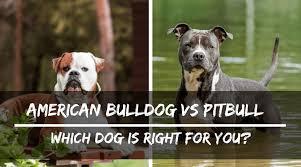 pitbull dog vs bulldog. Interesting Dog Inside Pitbull Dog Vs Bulldog A