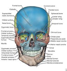 face anatomy oral maxillo facial surgery facial bone anatomy