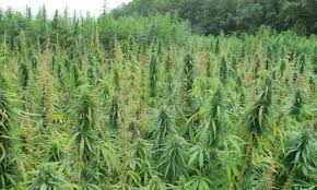 what can the hemp plant be used for