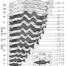 Largemouth Bass Age Chart Striped Bass Age And Growth Chart Striper Stripedbass