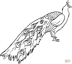 Peacocks Coloring Pages Peacock Page Adult