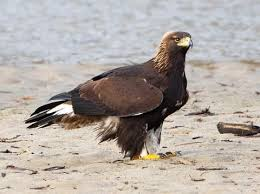 Golden Eagle Identification All About Birds Cornell Lab Of