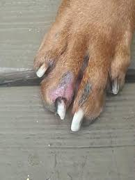 dog licking and biting paw skin by nail