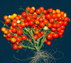 How Would A Tomato Look Under Blue Light Researchers Use Crispr To Create Compact Tomato Plants
