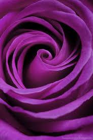 purple rose wallpaper download. Unique Rose Download Purple Rose Wallpaper For IPhone 4 S