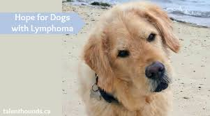 Canine Lymphoma Symptoms Is There Hope For My Dog If Diagnosed With Lymphoma