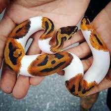 Python Pattern Gorgeous A Beautiful Piebald Ball Python With An Amazing Jack O' Lantern