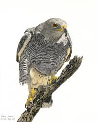 Gray Hawk - Buteo plagiatus | Artists for Conservation