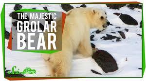 grolar bear size the majestic grolar bear youtube