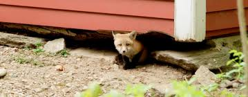 fox pest control reviews. Beautiful Pest Fox Pest Control Ireland And Reviews N