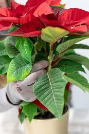 Wie Man Einen Weihnachtsstern Poinsettie Pflegt