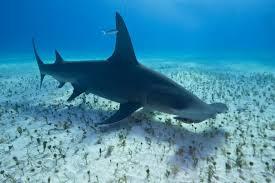 great hammerhead shark eating. Fine Eating Intended Great Hammerhead Shark Eating