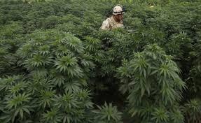 should medical marijuana be legalized essay why marijuana should be legalized essay and over 87 000 other should marijuana be legalized for medical marijuana should be legalized for