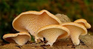 грибы паразиты Трутовики грибы паразиты