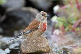 Linnet - BirdWatch Ireland