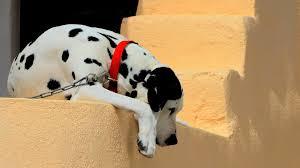 pets dalmatians dogs nature s free desktop dog animation 1920x1200