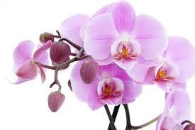 Αποτέλεσμα εικόνας για βιολετα φυτο