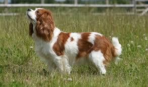 cavalier king charles spaniel full grown. Simple Spaniel Cavalier King Charles Spaniel To Full Grown