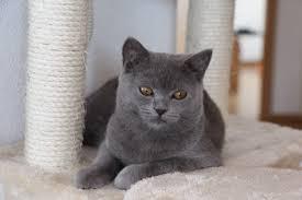 Haltung Von Britisch Kurzhaar Alle Informationen Zur Katzenhaltung