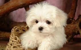silky dog white. a cute white long silky hair maltese puppy is sitting in basket | pictures dogs dog s