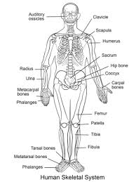 Small Picture Human Skeletal System coloring page Free Printable Coloring Pages