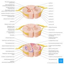 Spinal Cord Ascending And Descending Tracts Kenhub
