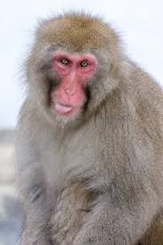 japanese macaque at the jigokudani snow monkey park in winter