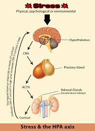 The Hpa Hypothalamus Pituitary Adrenal Axis Illustration Shows How