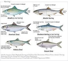 Florida Saltwater Fishing Regulations Chart Marine Species Identification New Jersey Saltwater Fishing