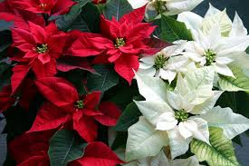Poinsettia Plant Care and Growing Guide
