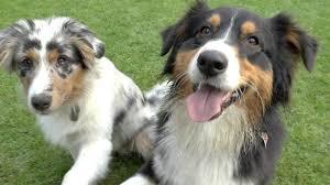 Australian Shepherd Black Tri Und Blue Merle 5 Monate Cleo Und