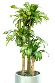 lighted indoor tree trees low light six plants for your office office indoor plants94 plants