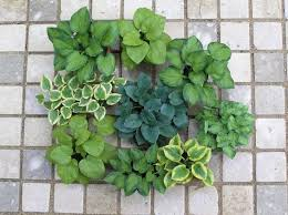 dollhouse miniature hosta plants by 2015 igma fellow carolyn mohler krfat bl 112 dollhouse miniature