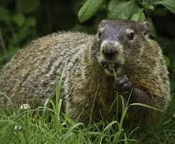 groundhog day will the groundhog see his shadow old farmer s groundhog day will the groundhog see his shadow old farmer s almanac