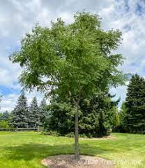 Kentucky coffeetree the kentucky coffeetree's tolerance to pollution and a wide range of soils makes it a suitable tree for urban environments. Kentucky Coffee Tree