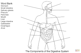 Small Picture Components of Digestive System Worksheet coloring page Free