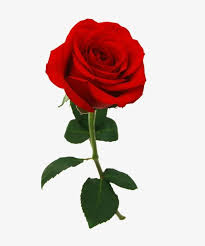 red rose flower closeup png clipart