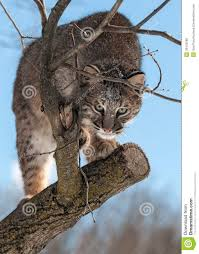 """Résultat de recherche d'images pour """"chat sauvage americain"""""""