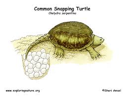 Small Picture Turtle Common Snapping