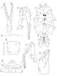 Figs 1 9 chthonius ephippiochthonius rhizon n sp