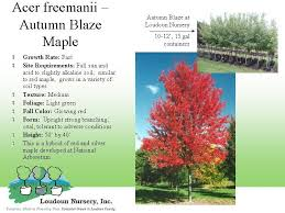 Oak Tree Growth Rate Chart Autumn Blaze Maple Google Search Autumn Blaze Maple