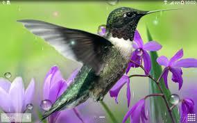 hummingbirds live wallpaper screenshot 9