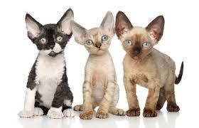 Mèo lông xoăn Devon Rex