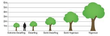 Semi Dwarf Cherry Trees Wowforum Info