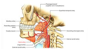 arteries of the face easy notes on facial artery learn in just 4 minutes